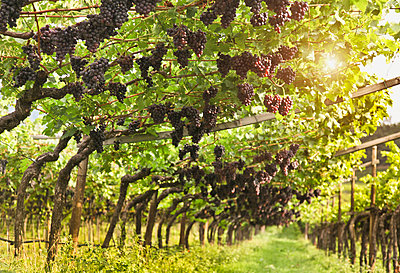 Grapes hanging in vineyard - p555m1444282 by Walter Zerla