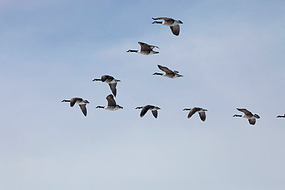 Wild goose - p2351251 by KuS