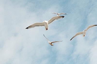 Seagulls in flight - p4380062 by Laura Petermann