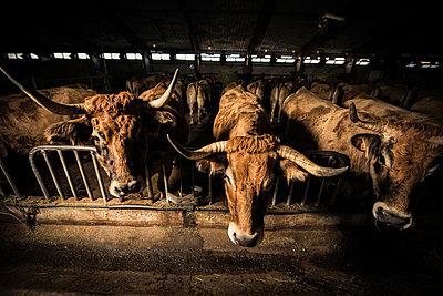 Rinder im Stall - p829m949352 von Régis Domergue