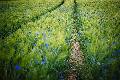 Blue wildflowers growing in idyllic, rural green wheat field - p301m2075694 by Sven Hagolani