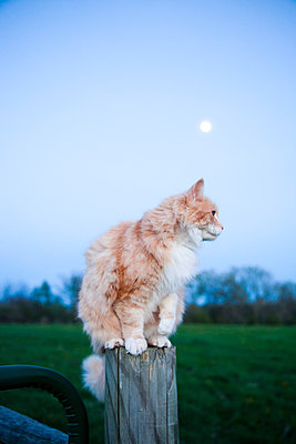 Cat and moon - p956m1044311 by Anna Quinn