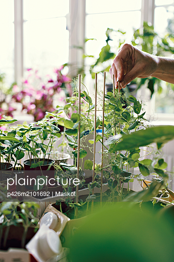 Hand of female environmentalist positioning sticks by plants at home - p426m2101692 by Maskot