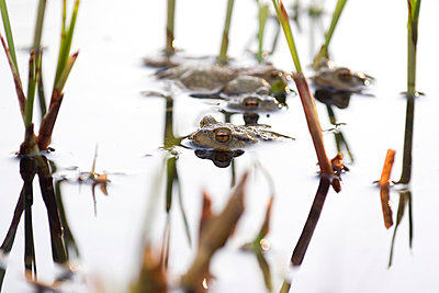 Toads in a pond - p4410380 by Maria Dorner