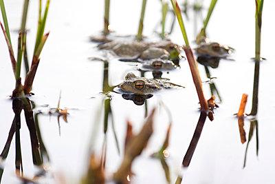 Kröten im Teich - p4410380 von Maria Dorner