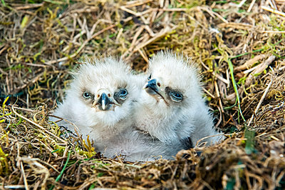 Baby bald eagles (Haliaeetus leucocephalus) in a nest; Homer, Alaska, United States of America - p442m2074040 by Its About Light