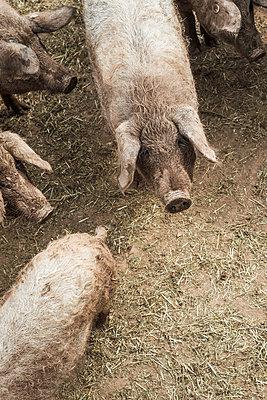 Wollschweine - p947m1083439 von Cristopher Civitillo