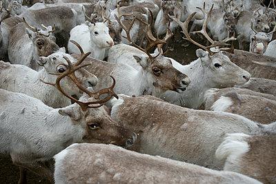 Herd of Reindeer in Lapland - p1216m2182520 by Céleste Manet