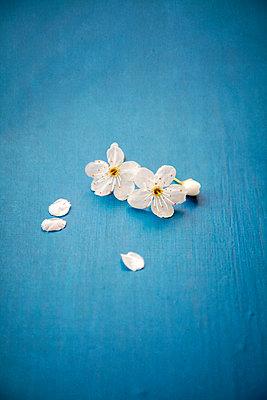 Zwei kleine weiße Obstblüten auf blauem Hintergrund - p1248m2164289 von miguel sobreira