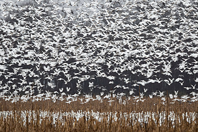 Thousands of Snow Geese blast off from a field - p1480m2148247 by Brian W. Downs