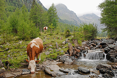 Austria, Untere Tauern, Cow drinking from a mountain stream in a pasture - p30016296f by Claudia Rehm