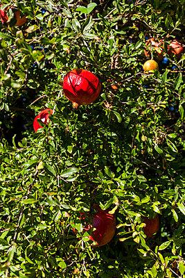 Granatapfel - p1271m1539708 von Maurice Kohl