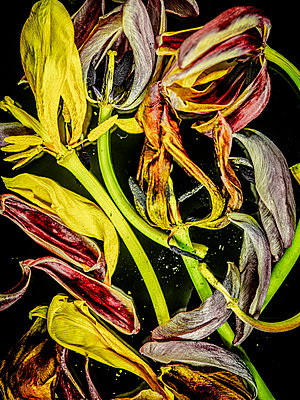 Faded tulips - p401m2187142 by Frank Baquet