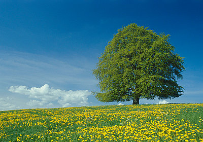 Single tree in dandelion meadow, Allgaeu, Bavaria, Germany - p4736613f by STOCK4B-RF