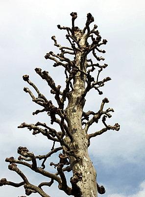 Blattloser Baum - p664m1132602 von Yom Lam