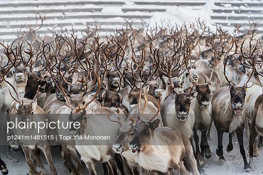 Reindeer work - p1241m1481515 by Topi Ylä-Mononen