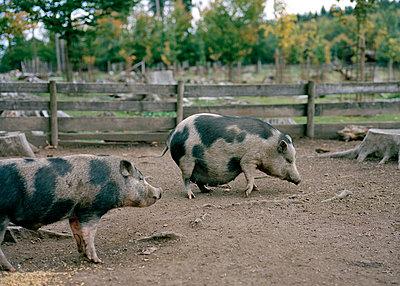 Schweine - p1064m814715 von Esmeralda