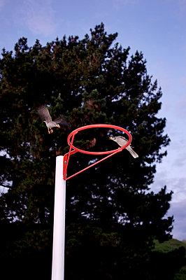 Birds on netball hoop - p1125m917369 by jonlove