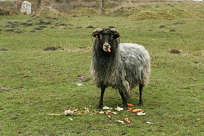 Schaf mit Karotte - p1650320 von Andrea Schoenrock