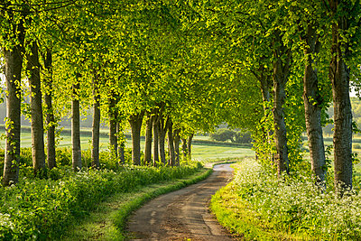 Tree lined country lane in rural Dorset, England, United Kingdom, Europe - p871m993812 by Adam Burton