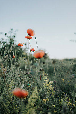 Meadow with corn poppies - p1184m1222852 by brabanski