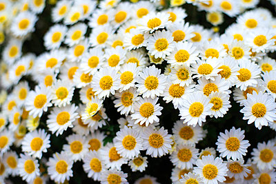 Closeup on white chamomile flowers - p1166m2095222 by Cavan Images