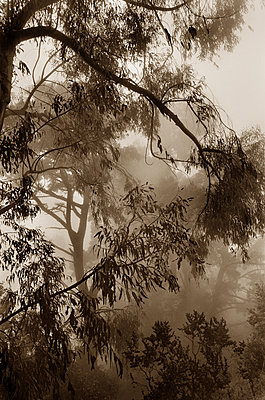 Trees in the fog - p1131m2257955 by Charles Klein