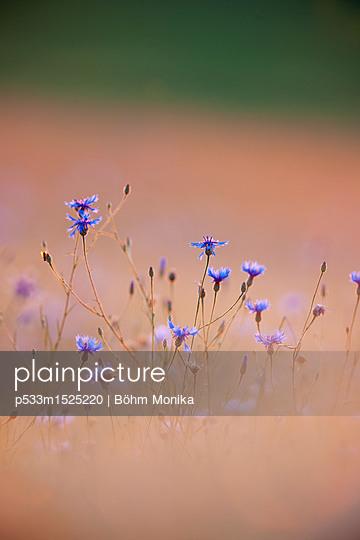 Kornblumen im Sonnenuntergang - p533m1525220 von Böhm Monika