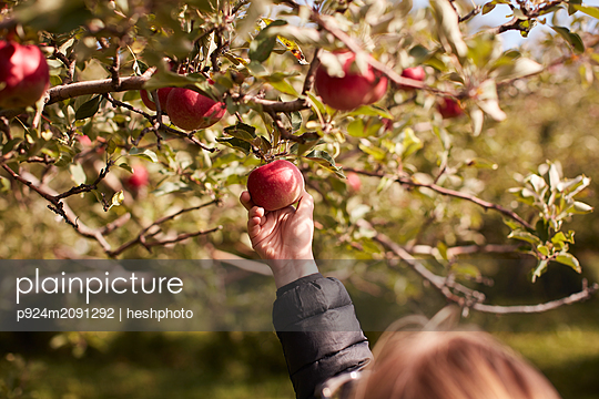 Girl picking apples from tree - p924m2091292 by heshphoto