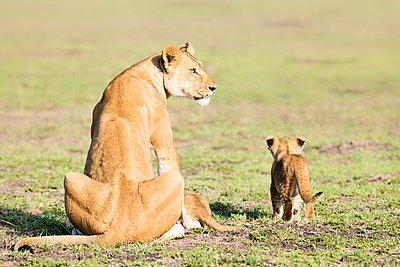 Lioness and cubs, Masai Mara, Kenya, East Africa, Africa - p871m1533927 by Karen Deakin