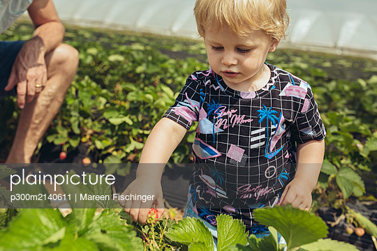 Father and son picking strawberries in strawberry plantation - p300m2140611 by Mareen Fischinger