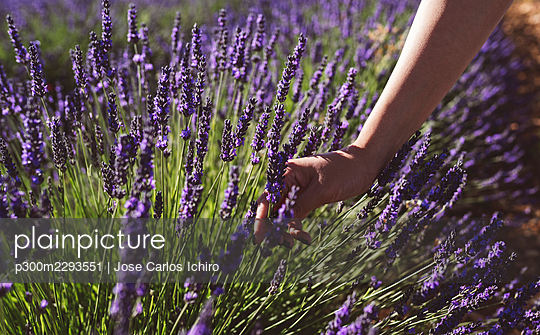 Woman's hand touching lavender flowers in field - p300m2293551 by Jose Carlos Ichiro