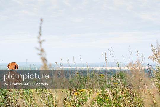 Dog in a meadow - p739m2116440 by Baertels