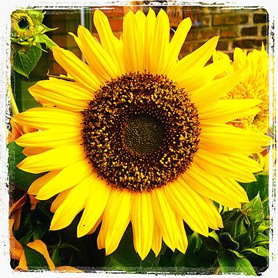 Sunflower blossom - p300m1009087f by Gaby Wojciech