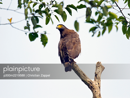 Crested serpent eagle, Spilornis cheela - p300m2219588 by Christian Zappel