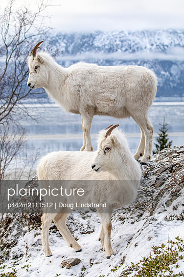 Dall sheep ewes (Ovis dalli) together on a rocky hillside overlooking Turnagain Arm and near the Seward Highway at MP 107 in winter with hardly any snow, South-central Alaska; Alaska, United States of America - p442m2111512 by Doug Lindstrand