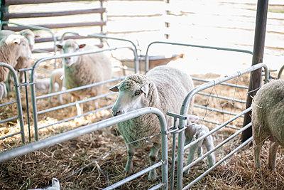 Sheep on farm - p300m1192180 by zerocreatives