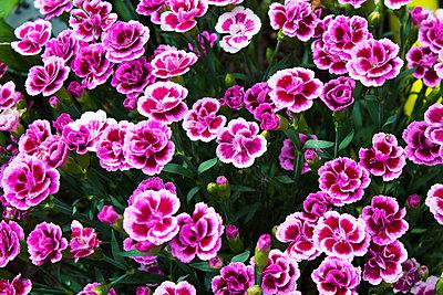Pink carnations - p300m2083250 by Dieter Heinemann