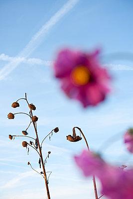 Malvenblüten und verdorrte Sonnenblumen - p533m1573839 von Böhm Monika