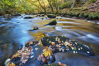 An autumn view, with autumn colours, of ancient woodland lining the River Teign, near Fingle Bridge, Dartmoor National Park, Devon, England, United Kingdom - p871m2101291 by Nigel Hicks