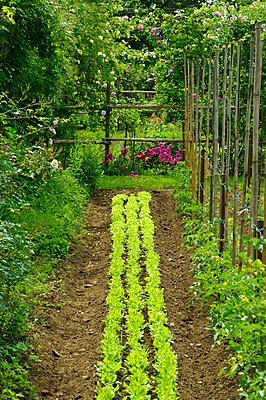 Bed of lettuce, runner beans and rose bushes in garden - p1183m995850 by Tremolada, Emilio