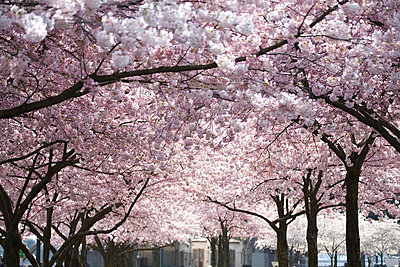 Pink blossoms on the trees, Oregon, United States of America - p4429498f by Design Pics
