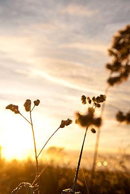 Grashalme im Sonnenaufgang - p533m2044338 von Böhm Monika