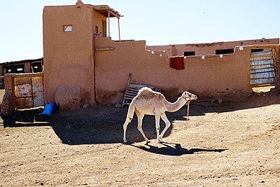 Kamel - p887m1124798 von Christian Kuhn