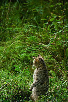 Cat checking for prey - p1418m1571823 by Jan Håkan Dahlström