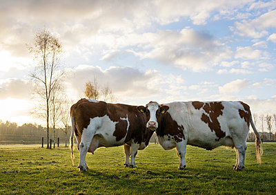 Portrait of two domestic cows in field - p429m1519632 by Mischa Keijser
