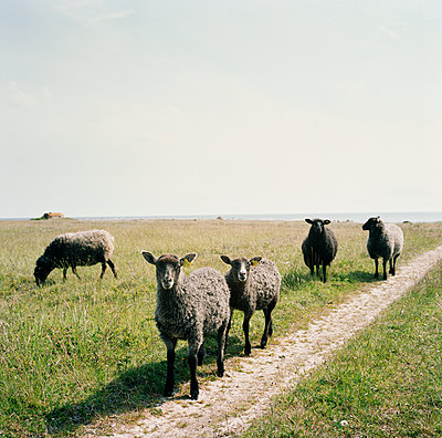 Schafe auf der Weide - p972m1136658 von Felix Odell