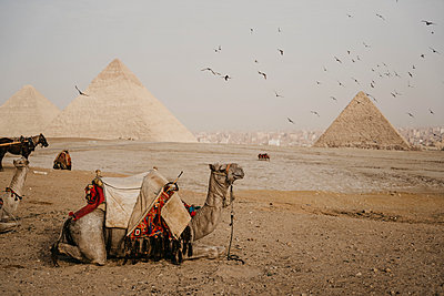 Egypt, Cairo, Flock of birds flying over camels resting near Giza Pyramids - p300m2266691 by letizia haessig photography
