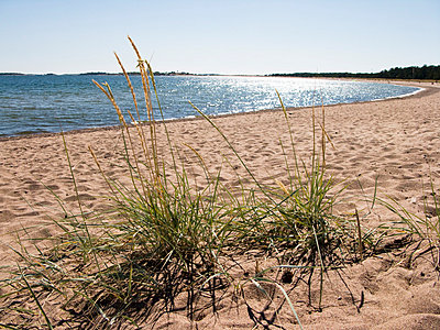 Lyme-grass on the beach  - p3226278 by plainpicture