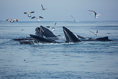 Humpback whales  and a flock of birds on the surface of the water; Massachusetts, United States of America - p442m1033687 by Eric Kulin